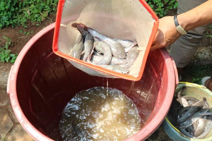 penyakit pada ikan lele