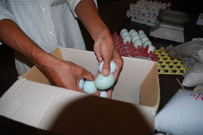 menetaskan telur itik