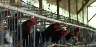 kandang pembesaran ayam kampung
