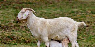 produksi susu kambing