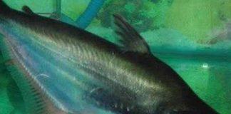 ikan patin perkasa