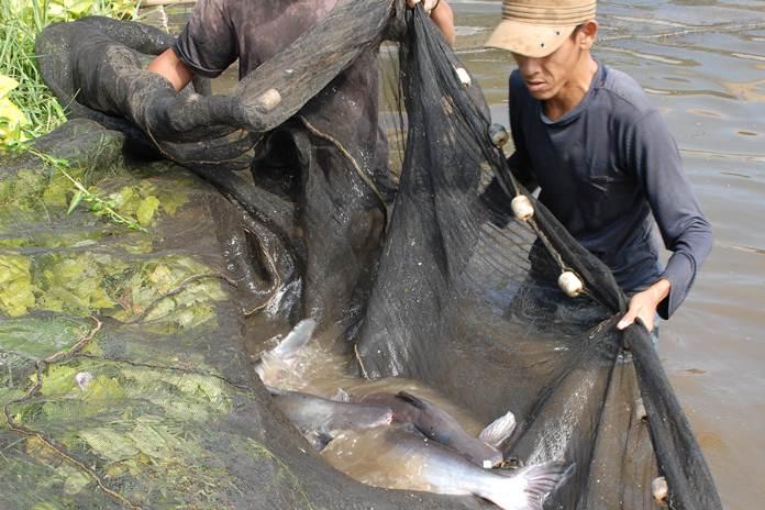 bisnis ikan paitn