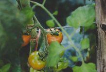 menanam tomat di pot