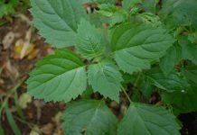 jenis tanaman nilam