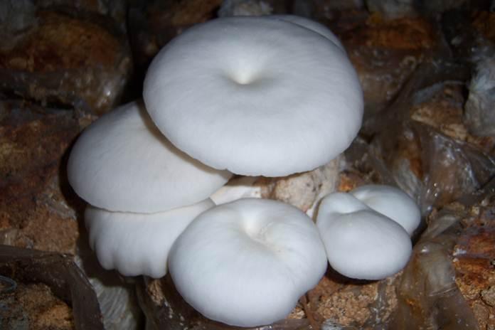 gizi jamur tiram