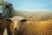 jenis domba