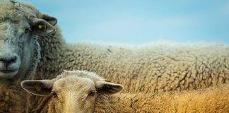 pakan domba