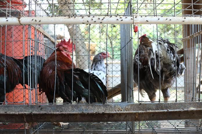 penyakit ayam kampung