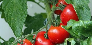 tanda tomat siap panen