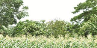 waktu panen jagung