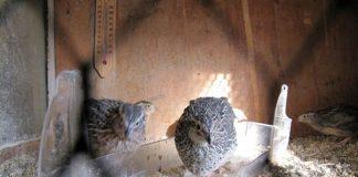 penyakit burung puyuh