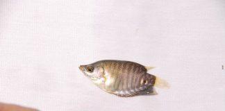 ikan gurami ukuran kuku