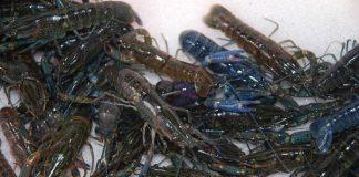 benih lobster