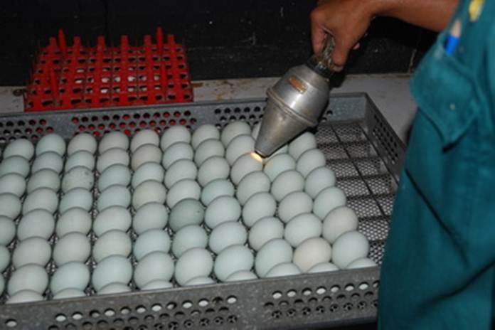 penyimpanan telur itik