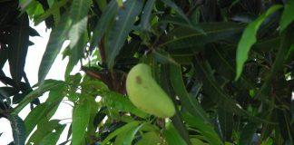 setek pohon mangga