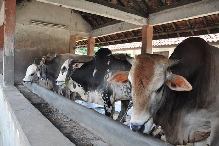 limbah kandang sapi