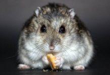 ternak hamster
