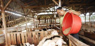 indukan kambing