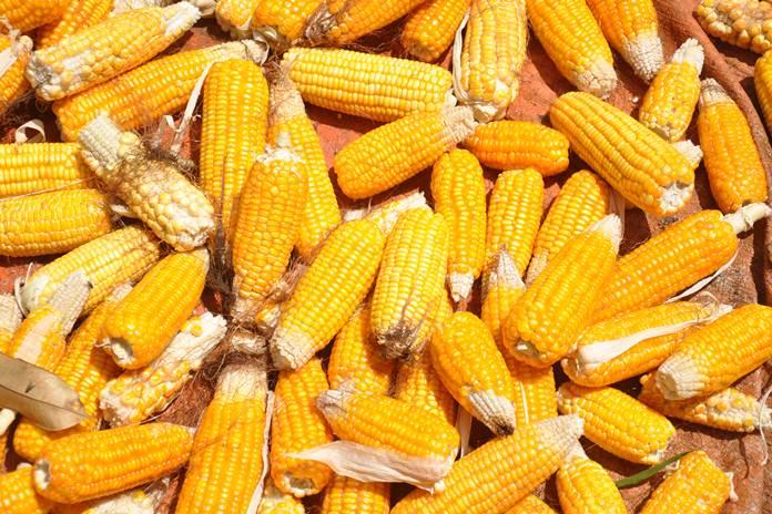 pemintaan jagung
