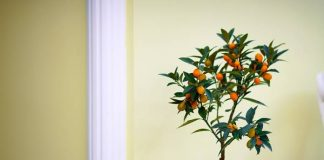 buah tabulampot