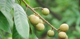 buah lengkeng i pot