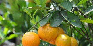 mempercepat pohon jeruk berbuah