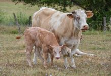 mengawinkan sapi