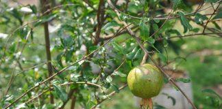 buah delima di pot