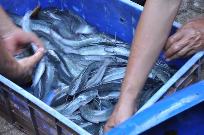 pemijahan ikan lele