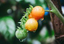 penyiraman pohon tomat