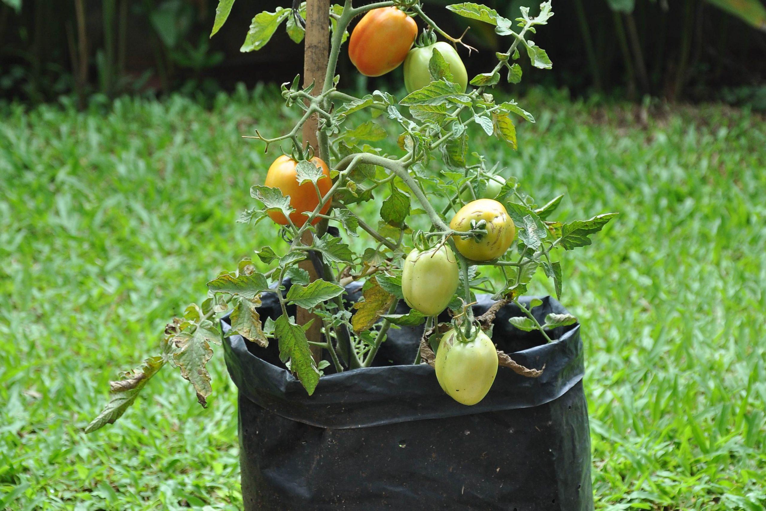 tomat di pot