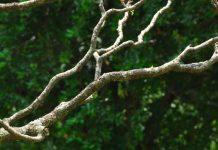 pohon mindi