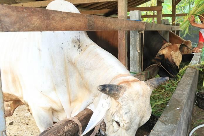 mengamati kesehatan sapi