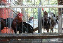 kanibal pada ayam kampung