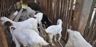 perut kembung pada kambing