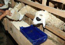 perkawinan domba