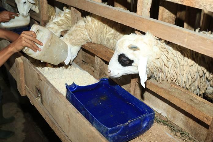 seleksi domba potong