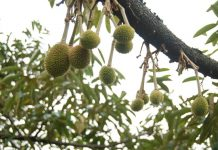 pemangkasan pohon durian