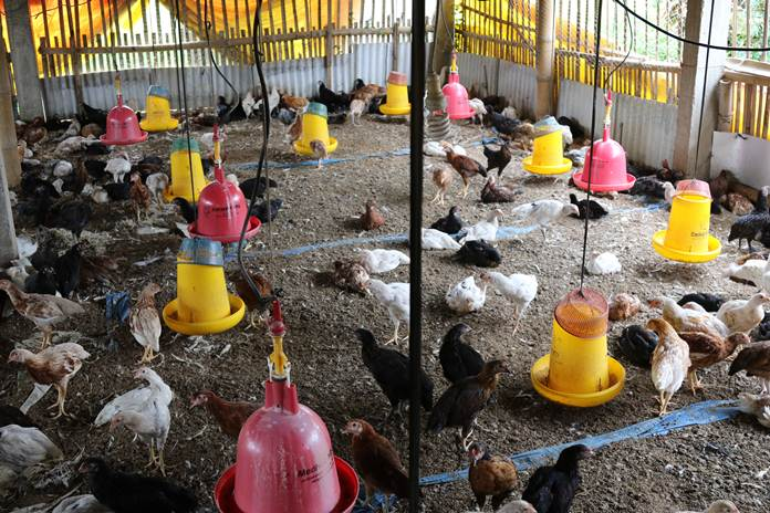 Formula Pakan Ayam Menggunakan Bawang Putih