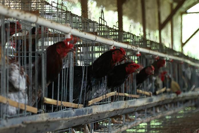 bisnis ayam kampung