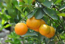 buah varietas unggul