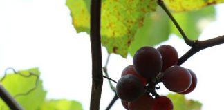 hama pohon anggur