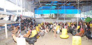 pakan ayam kampung