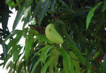 kegagalan menanam pohon buah