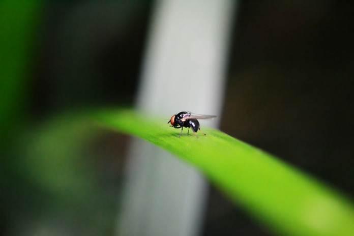 lalat buah pada cabai