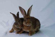 beternak kelinci potong