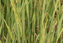 System of Rice Intensifiaction