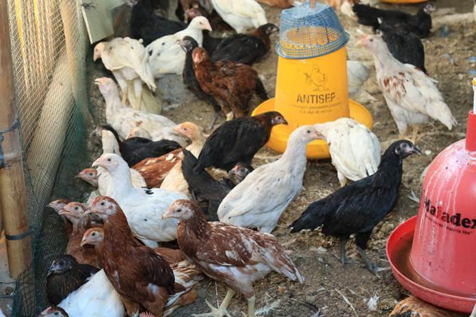 bahan herbal untuk ayam