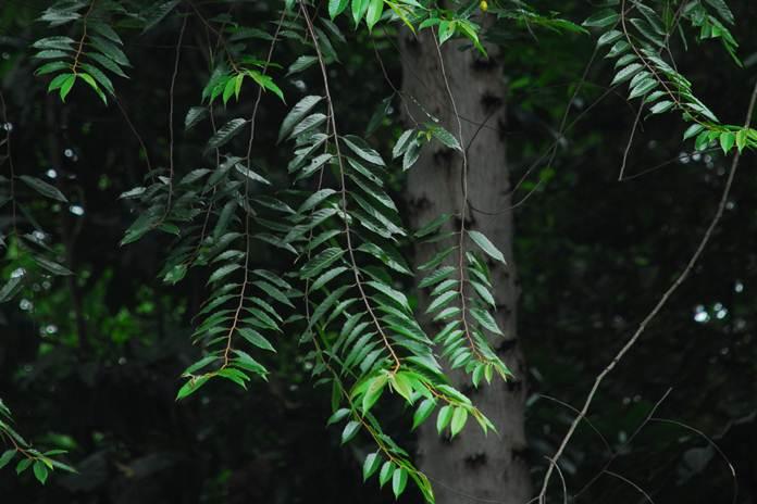 kayu afrika