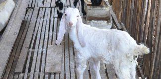 pemasaran kambing